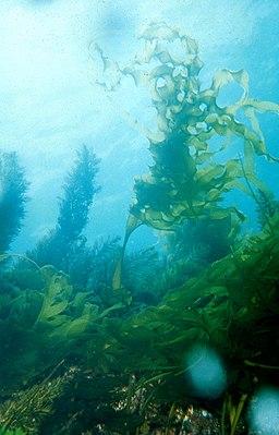 CSIRO ScienceImage 904 Undaria pinnatifida Japanese kelp