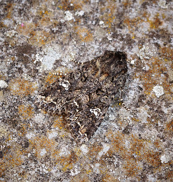 File:Cabbage Moth (41584766274).jpg