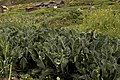 Cabbage and mustard field in Koaksar Village, Lahul and Spiti dist., HP, India. D35 7647 01.jpg