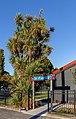 Cabbage tree by Te Paeroa, Richmond, Christchurch, New Zealand.jpg