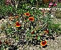 Cactus Garden, Living Desert 3-15k (16756981735).jpg