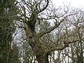 Cadzow oak epiphyte 2.JPG