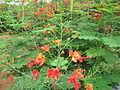 Caesalpinia pulcherrima - രാജമല്ലി 06.JPG