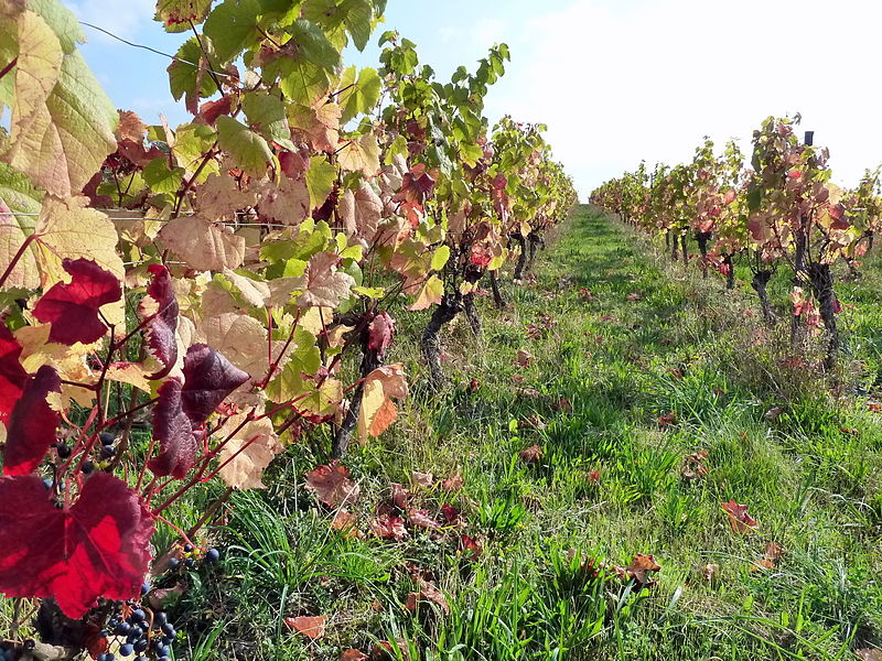 Cahors vines