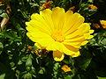 Calendula officialis 'Marigold' (Asteraceae) flower.JPG