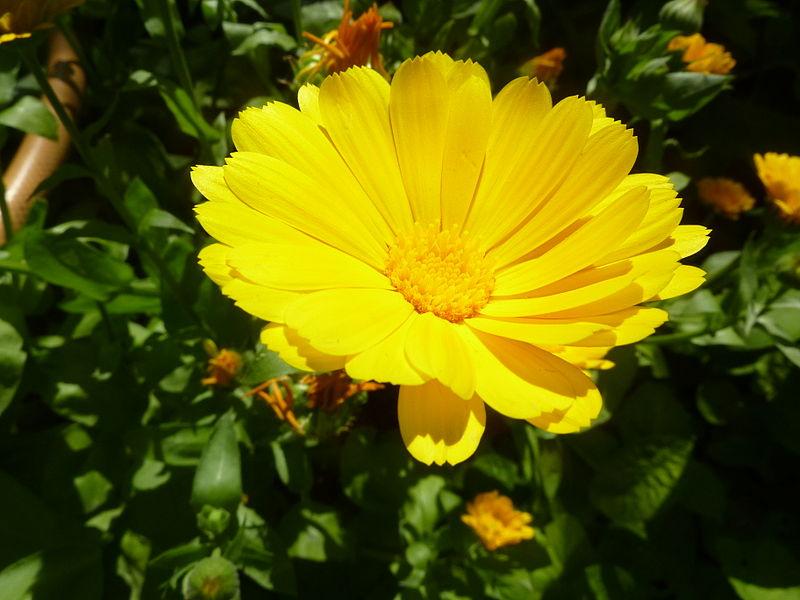 File:Calendula officialis 'Marigold' (Asteraceae) flower.JPG
