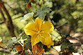 California Flannelbush - Fremontodendron californicum (41874913095).jpg