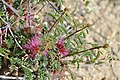 Calliandra chilensis Desierto Florido 2011 sector Quebradita 04.jpg