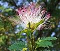 Calliandra surinamensis (3).jpg