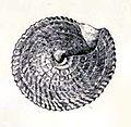 Calliostoma indiana 002.jpg