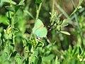 Callophrys rubi, Srbija (186).jpg