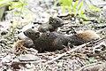 Callosciurus erythraeus thaiwanensis (30138512143).jpg