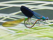 Calopteryx xanthostoma couple2.jpg
