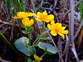 Caltha palustris 1a.jpg