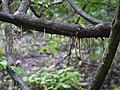 Calycopteris floribunda (9583932864).jpg
