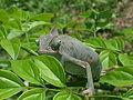 Camaleonte calyptratus.jpg