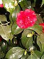 Camellia japonica Althaeiflora BotGardBln271207B.jpg