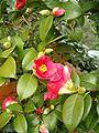 Camellia japonica BotGardBln271207C.jpg