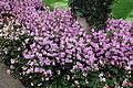 Campanula medium - Longwood Gardens - DSC01098.JPG