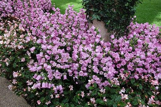 Campanula medium - Longwood Gardens - DSC01098