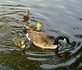 Canada Goose and Goslings (4591175055).jpg