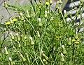 Canada Wild Lettuce (Lactuca canadensis) (39048929361).jpg