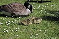 Canada goose - Branta canadensis (42022244741).jpg