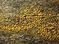 Candelariella vitellina 61843798.jpg