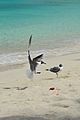 Caneel Bay Seagulls By Caneel Beach 07.jpg