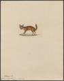 Canis megalotis - 1834 - Print - Iconographia Zoologica - Special Collections University of Amsterdam - UBA01 IZ22200307.tif
