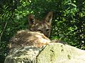 Canis mesomelas, relaxing on a stone in a shadow, Zoo Plzeň.jpg