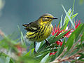 Cape May Warbler RWD3.jpg