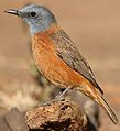 Cape Rock Thrush, Monticola rupestris, at Walter Sisulu National Botanical Garden, Gauteng, South Africa (28788535113).jpg