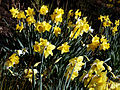 Capel Manor Gardens Enfield London England - Daffodils 04.jpg