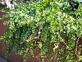 Capparis spinosa rupestris 3c.JPG