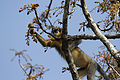 Capped Langur , Manas Wildlife Sanctuary.jpg