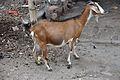 Capra aegagrus hircus - Ghosh Para Road - Barrackpore - North 24 Parganas 2012-04-11 9537.JPG