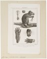 Capromys pilorides - 1700-1880 - Print - Iconographia Zoologica - Special Collections University of Amsterdam - UBA01 IZ20600127.tif