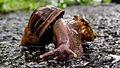 Caramujo africano (Achatina fulica).jpg