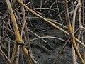Caranguejo no meio das raizes douradas - panoramio.jpg