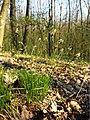 Carex montana sl1.jpg