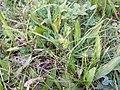 Carex oederi sl4.jpg