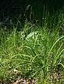 Carex pendula 1.jpg