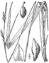 Carex striatula drawing 1.png