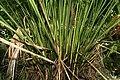 Carludovica palmata 15zz.jpg