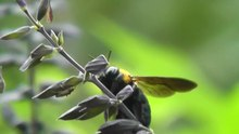 File:Carpenter bee in Japan.webm