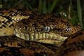 Carpet Python, Marcoola QLD 03.jpg
