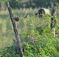 Carpintero Enmascarado, Tirano Tropical, Semillero de Collar (9245961256).jpg