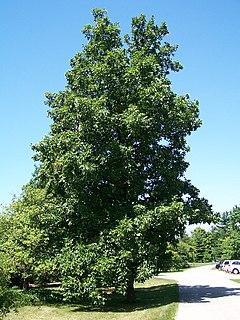 Hickory Genus of trees