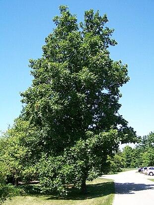 """Hickory at <a href=""""http://search.lycos.com/web/?_z=0&q=%22Morton%20Arboretum%22"""">Morton Arboretum</a><br class=""""prcLst"""" />Accession 29-U-10"""